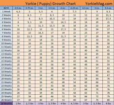 Teacup Maltese Growth Chart Teacup Yorkie Weight Chart Miniature And Toy Size Yorkies