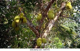 Kerala Fruit Trees