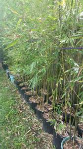 clumping weaver's bamboo in 15 gallon containers