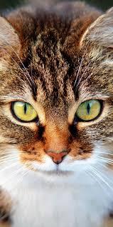 Eye Cat Design Pet Stare Yellow Eyes Cat Muzzle 1080x2160 Wallpaper