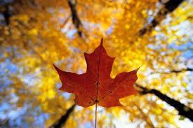 fall leaf. fall foliage in canada - an overview of leaf u