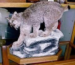 lynx size lynx life size habitat alaska wilderness arts and taxidermy