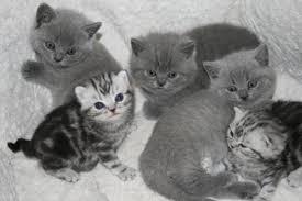 huiskatten te koop