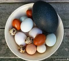 Egg Identification Chart Duck Duck Goose Chicken Quail Emu Egg Identification Chart