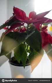 Schöne Rote Weihnachtsstern Pflanze Topf Traditionelle