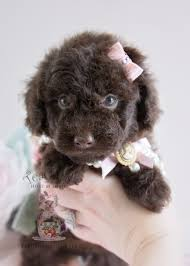 the cutest little toy poodles you have ever seen teacups puppies