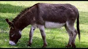 burro genius summary howl n madd the donkey by g k chesterton