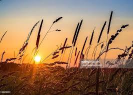 grass field sunrise. Wonderful Sunrise Cattail Grass In Field At Sunrise  Stock Photo For C