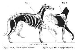 Greyhound Wikipedia