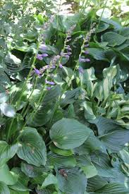 average american flower size hosta welcome to taylor family greenhouse
