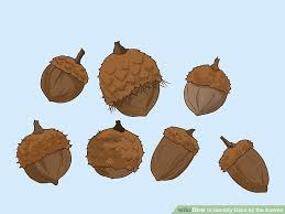 Oak Tree Comparison Chart How To Identify Oaks By The Acorns 13 Steps With Pictures