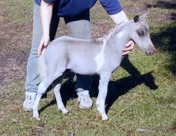 silver dapple foals page 2 miniature horse forum lil beginnings miniature horse talk forums page 2