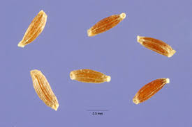 Plants Profile for Artemisia vulgaris (common wormwood)