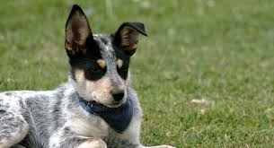 Cattle Dog Weight Chart Blue Heeler A Complete Guide To The Australian Cattle Dog