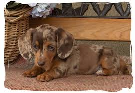 linda s pups quality bred family raised dachsunds