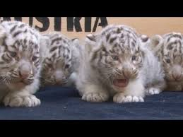 baby white tigers for sale. Exellent Sale Five Rare White Tiger Cubs Are Shown To The Public For First Time   YouTube Inside Baby Tigers For Sale T