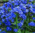 Images & Illustrations of cape forget-me-not