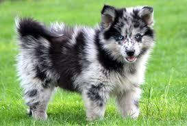 pomeranian husky full grown. Exellent Pomeranian With Pomeranian Husky Full Grown U