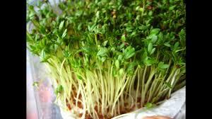 Как проращивать <b>кресс салат</b> - YouTube