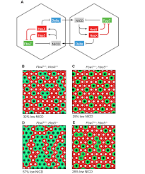 mathematical modelling of the effects of the fbw7 feedback loop in mathematical modelling of the effects of the fbw7 feedback loop in the delta notch lateral inhibition circuit a diagram of the postulated gene regulatory
