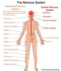 Central Nervous System Vs Peripheral Nervous System Venn Diagram 39 Best Nervous System Images Neuroscience Nervous System Human Body