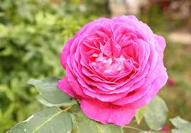 ısparta gülleri ile ilgili görsel sonucu