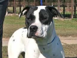 black and white american bulldog. American Bulldog Catahoula Mix Black And White Adopted Female Ophelia Inside