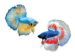 A Beginners Guide To Betta Care