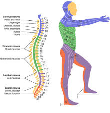Spine Levels Chart Spinal Cord Injury Levels Bone And Spine