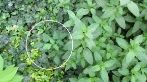 Image result for poison ivy
