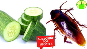 Eliminate Cockroaches Forever Of Your Home Using Just A Cucumber