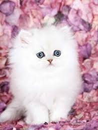 cute white fluffy kittens for sale. Plain White Silver Chinchilla Teacup Persian Kitten Iu0027m Thinkinu0027 I Need A White Fluffy  Kitty On Cute White Fluffy Kittens For Sale T