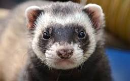 Image result for can ferrets eat tuna