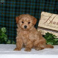 carmel morkie poo puppy