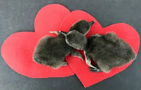 real baby penguins pictures. Wonderful Pictures Baby Penguins Celebrate Valentineu0027s Day At The California Academy Of  Sciences Sciences And Real Penguins Pictures Y