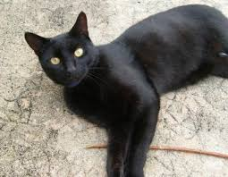 photo de chat noir aux yeux vert
