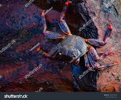 Red King Crab Walking On Rocks ...