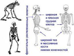 Осанка Википедия Признаки прямохождения сбалансированная посадка головы s образный позвоночник сводчатая стопа широкий таз широкая и плоская грудная клетка