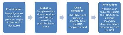 Translation Vs Transcription Venn Diagram Translation Vs Transcription Similarities And Differences