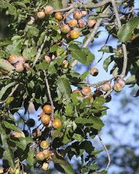 Dunstan Chestnut TreesFruit Trees That Grow In Nc