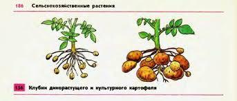 Происхождение культурных растений Гипермаркет знаний Картофель