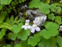 Cymbalaria pubescens (C. Presl)