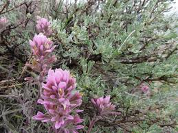 Image result for native plants of Boise foothills