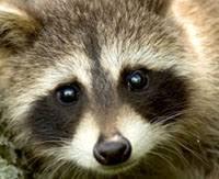 Znalezione obrazy dla zapytania raccoon eyes