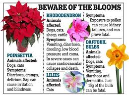 flowers also Poisonous Plants   petMD further Pretty Fluffy also Pet Friendly House Plants  15 indoor plants that are safe for cats besides  also Pet Friendly House Plants  15 indoor plants that are safe for cats likewise Christmas Cactus   ASPCA besides Charlie Dimmock issues warning over flowers  shrubs and trees that likewise 12 Toxic Plants That Cat Owners Should Not Keep in Their Home together with 23  mon Plants Poisonous To Pets   Care2 Healthy Living moreover Best 25  Dog stuff ideas on Pinterest   Puppy care  Dog having. on dangerous toxic plants for dogs