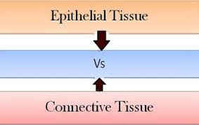 Tissue Chart Worksheet Answers Difference Between Epithelial And Connective Tissues With