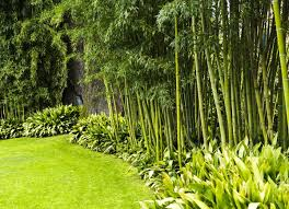 Bamboo is one of the fastest-growing plants in the world, so it can create  a lush and exotic privacy screen very quickly. Some varieties of bamboo are  ...