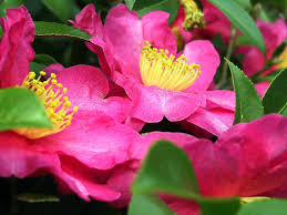 camellia definition and synonyms of