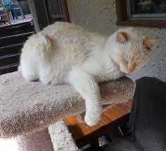 Cat enjoying his cat tree platform on outdoor deck, cat enclosure area.