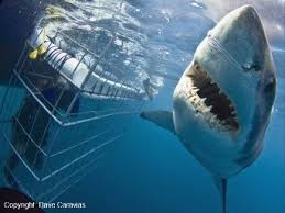 great white shark diving white shark diving company great white shark cage diving